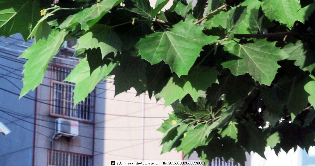 树叶 树木 植物 园林风景 梧桐树 摄影
