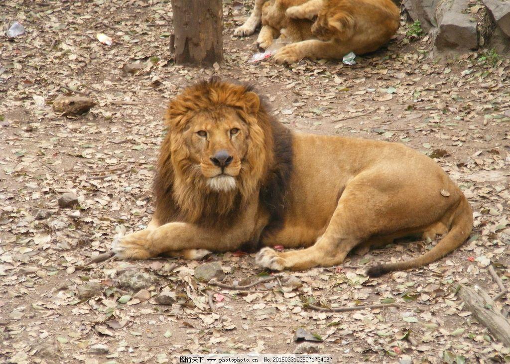 动物园 狮子 公狮子 雄狮子 杭州 照片 摄影 生物世界 野生动物 72dpi