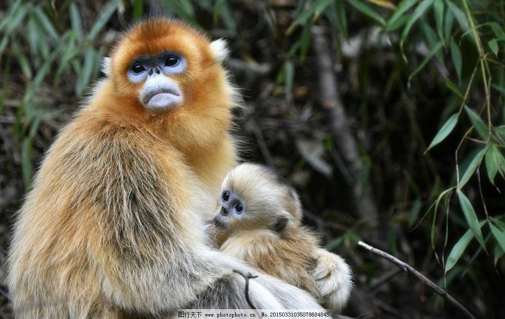 动物世界猴子 大猴子 正脸猴子 金毛猴子 高清猴子 猴山 猴岛 小猴子