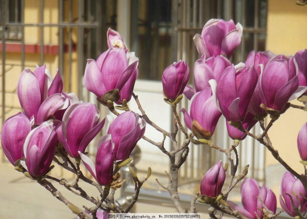 玉兰花 紫玉兰 紫色花 花朵 花瓣 玉兰树 春天 生物世界 玉兰花 摄影