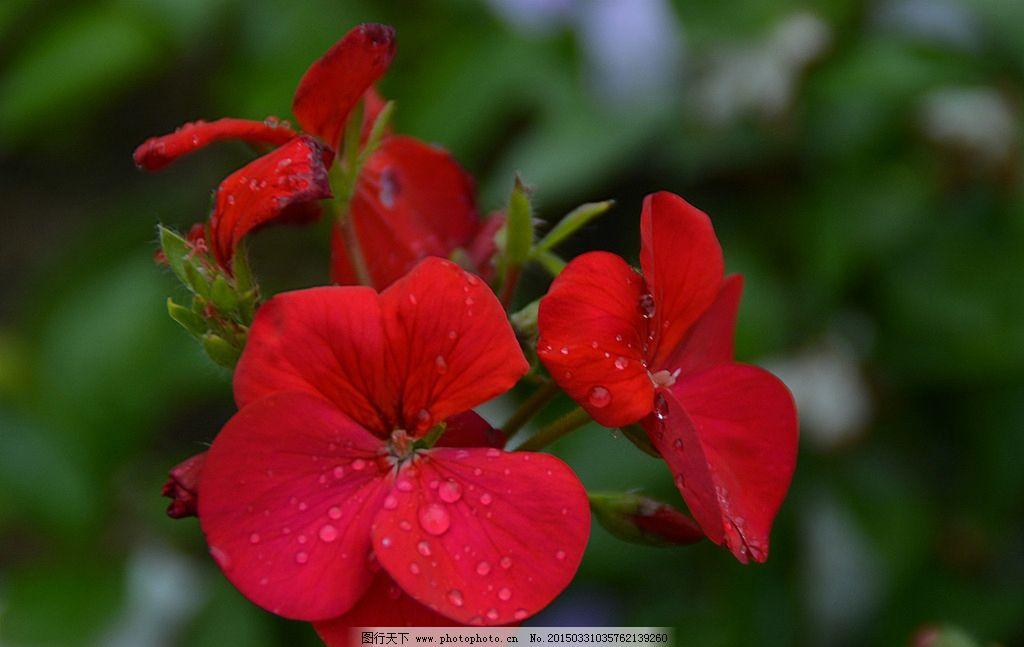 樱花 红色的花 花朵 春天的花 花朵特写  摄影 生物世界 花草 300dpi