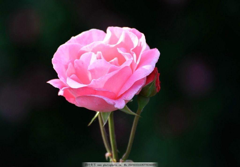 玫瑰 粉玫瑰 一朵玫瑰 花蕾 一只花 鲜花荟萃 摄影 生物世界 花草 300